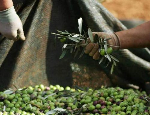 Kroatiens Olivenöle sind Weltklasse